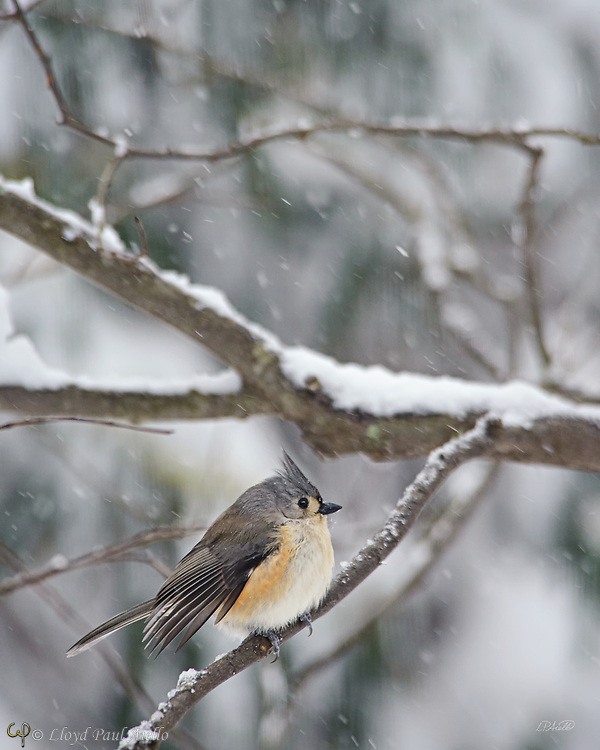The tufted titmouse (Baeolophus bicolor) is a small, common songbird found throughout the east coast of the United States, to southern Ontario, Canada and westward to the plains of central Texas, Oklahoma, Nebraska, Kansas, and Iowa.  They are 5.9–6.7 inches long, weigh 0.6–0.9 ounces and have a lifespan of 2–13 years.  The highest population densities of tufted titmice occur along the Ohio, Cumberland, Arkansas, and Mississippi rivers where they prefer deciduous and mixed-deciduous forests, especially those with a dense canopy or tall vegetation. Tufted titmice feed on insects and seeds.