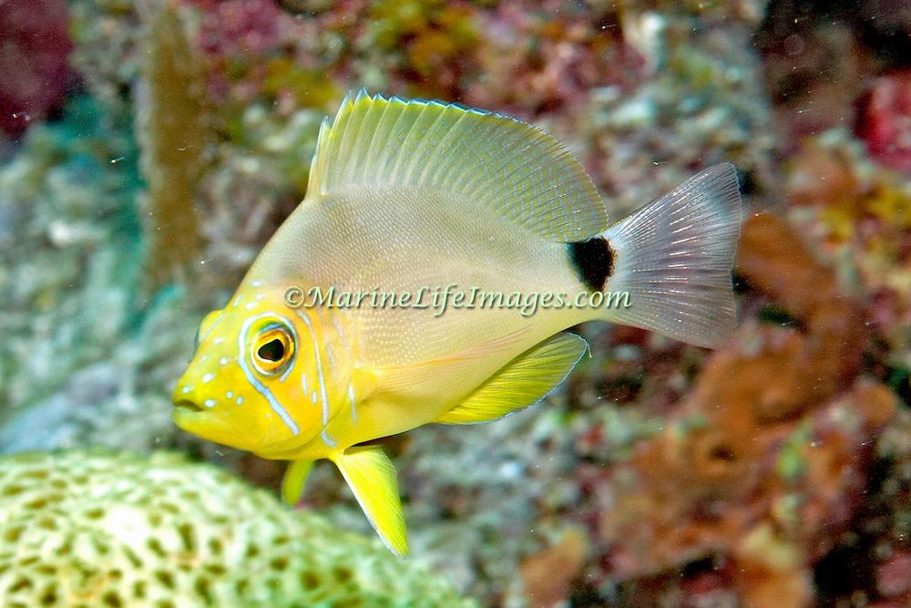 Butter Hamlet inhabit reefs in Tropical West Atlantic; picture taken Key Largo, Florida.