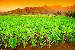 Taro or Kalo plant fields, Colocasia esculenta, (corms are harvested and mashed to make Hawaiian Poi), serving as Hawaiian waterbird sanctuary, Hanalei National Wildlife Refuge, Kauai, Hawaii,