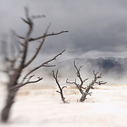 Dead Ghost Trees - Mammoth Terrace Hot Springs - Yellowstone National Park - Lensbaby
