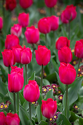 Tulipa 'Spring Tide' underplanted with Polyanthus 'Victorian Lilac Lace' F1