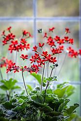 Pelargonium 'Ardens' AGM syn. Pelargonium × ardens on a windowsill