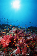 orange (golden) basslets, Pseudanthias squamipinnis, soft and hard corals, and sponges, Andaman Islands, India ( Indian Ocean )