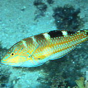 Puddingwife swim in open water just above reef in Tropical West Atlantic; picture taken Grand Cayman.