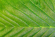 A close-up view of an elm leaf reveals the patterns of its veins.