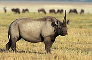 Black rhino (Dicerus bicornis) Ngorongoro Crater, Tanzania, with large pointed horn, has hooked lip or prehensile upper lip