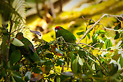Kakariki bird, Lochmara Lodge, Marlborough Sounds, South Island, New Zealand
