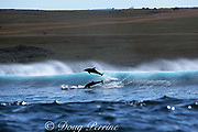 Indo-Pacific bottlenose dolphins, Tursiops aduncus, leap from the back of a wave they were surfing, Wild Coast, Transkei, South Africa ( Indian Ocean )