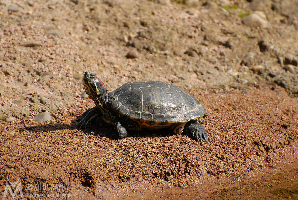 Little turtle chilling in the sun at the river bank.