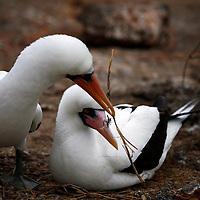 South America, Ecuador, Galapagos Islands. Nazca Boobies nesting and courtship ritual.