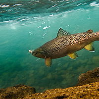 Brown trout swimming in the Deschutes River near Bend, Oregon.