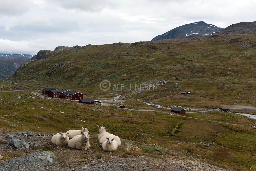 Sheep resting along Sognefjellsvegen at Krossbu Turist Cottage, Jotunheimen (Innlandet, Norway) in early Autumn,