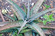 Aloe longibracteata (Origin South Africa) in a Cactus and succulent garden Photographed in Tel Aviv, Israel in May