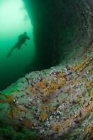 Giant cualdrons, Tore Aglen, underwater scenery.Atlantic marine life, Saltstraumen, Bodö, Norway.Model release by photographer