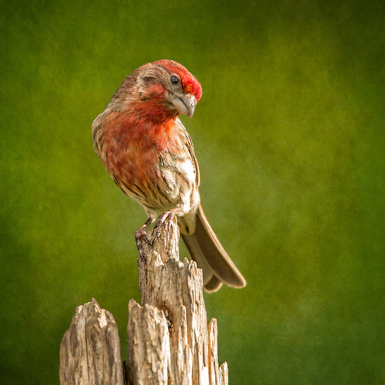 A Male House Finch Perched With A Bashful Pose