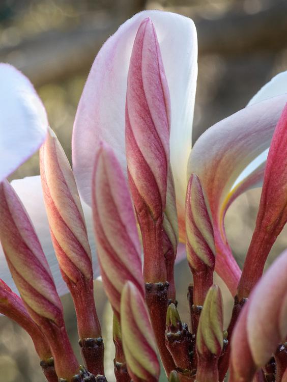 Plumeria Nursery