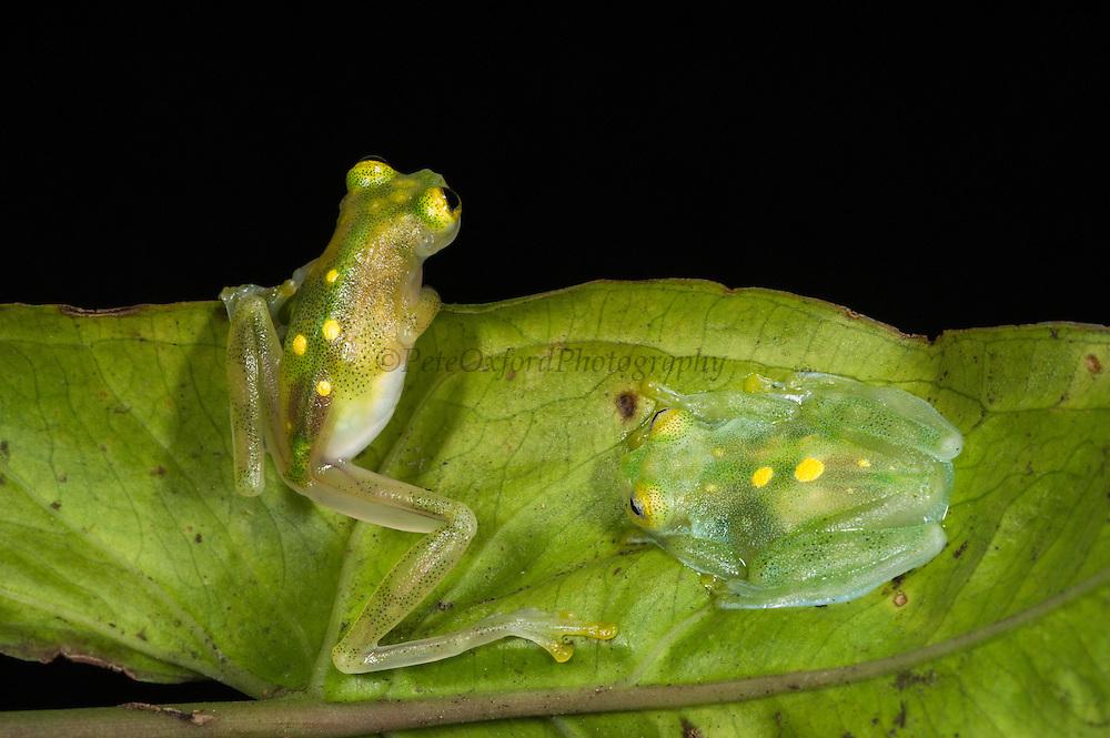 Glass Frogs (Hyalinobatrachium aureoguttatum) CAPTIVE<br /> Chocó Region of northwest Ecuador on Colombian Border<br /> ECUADOR. South America<br /> Threatened species due to habitat loss.<br /> RANGE: Northern Ecuador, Colombia north to Panama