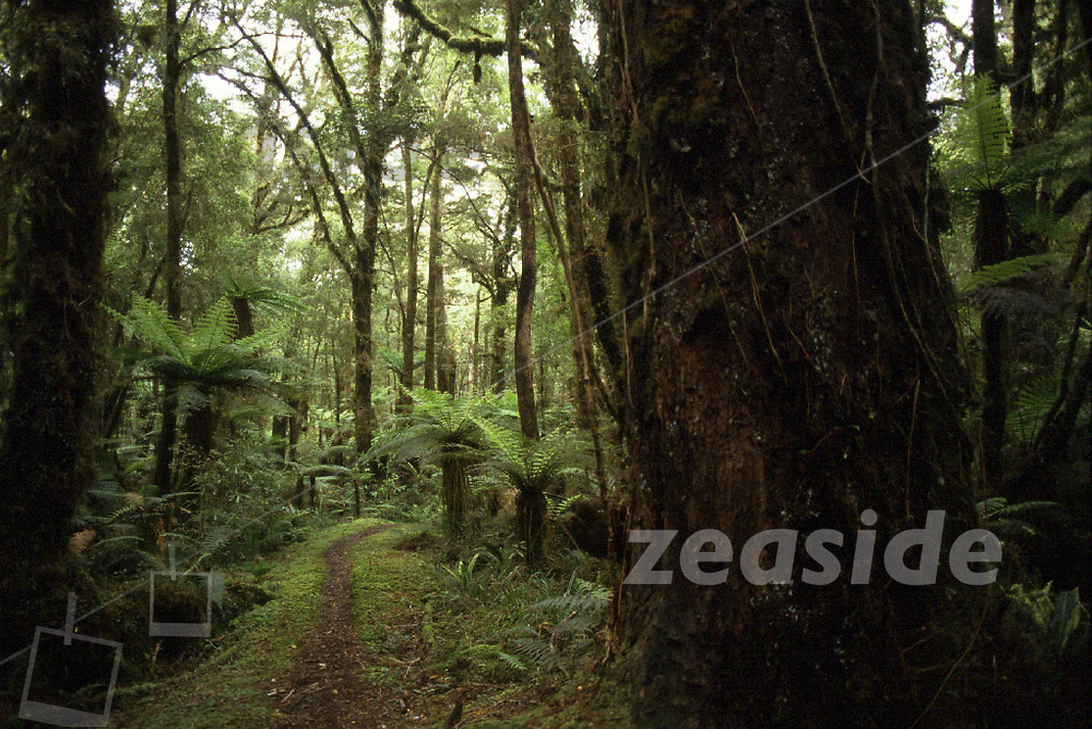 The Inland Pack Track features fantastic coastal rainforrest of New Zealand! It is a track, formerly built and used to carry goods and gold along the westcoast, before the road existed and due to the dangerous route along the shore, with its difficult limestone formations and strong surf of the Tasman Sea. This Track can be impassable at parts often, due to rain in the Ranges.