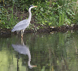 May 1, 2019 - Sidcup, London, UK - Sidcup,UK. A Heron looking for breakfast in the river Cray at Footscray Meadows, Sidcup, South East London this morning. (Credit Image: © Grant Falvey/London News Pictures via ZUMA Wire)