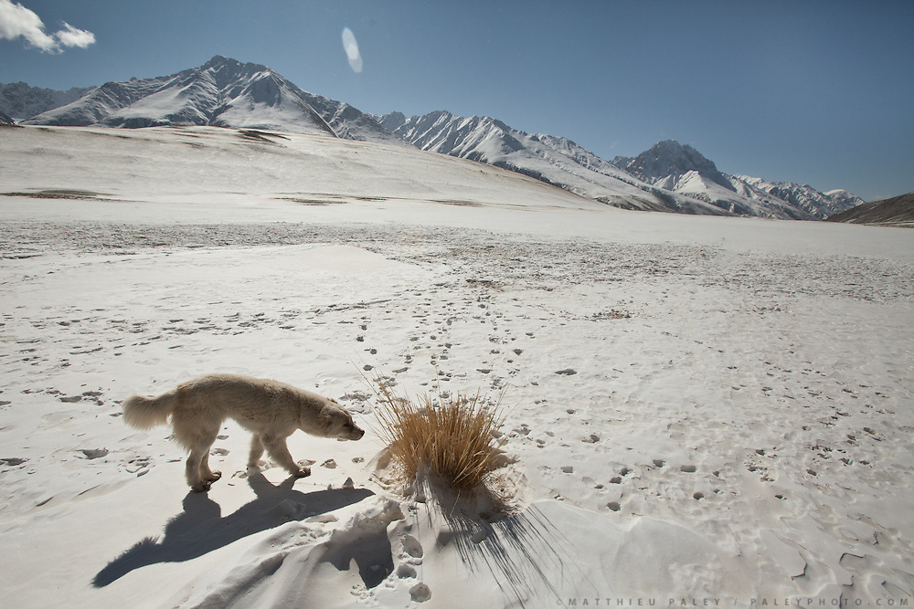 A dog sniffs one of the rare plant in the Pamir. .Going back down to Sarhad village with a yak caravan led by 2 Wakhi traders: Shur Ali and Roz Ali...Trekking down the Wakhan frozen river, the only way down to leave the high altitude Little Pamir plateau, home of the Afghan Kyrgyz community.