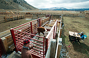 PRICE CHAMBERS / NEWS&GUIDE<br /> Thomas Watsabaugh closes the gate to a scale where each calf is weighed before being seperated by their sex on weening day.