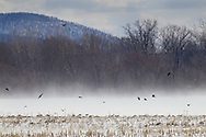 Wawayanda, New York - Strong winds blow snow in the distance  as Canada geese feed in a cornfield and crows fly overhead on Jan. 30, 2015.