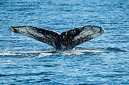 The humpback whale named Hancock flashes its distinctive tail as it prepares to dive.
