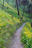 Balsamroot bloom along the Loop Trail in Bear Creek Provincial Park near Kelowna, British Columbia.