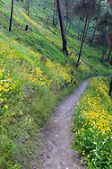 Balsamroot bloom along the Loop Trail in Bear Creek Provincial Park near Kelowna, British Columbia.