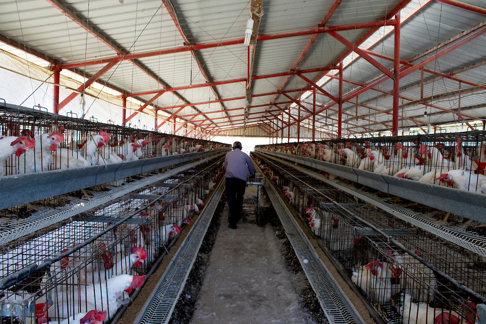 Battery hen unit, Palestine. Tens of thousands of hens are caged for egg production. The Palestinian Animal League promotes vegetarian and vegan diets as a cruelty-free and healthy alternative to animal farming