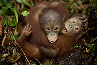 Male and female juvenile orangutans stay close together at IAR while exploring a patch of forest where they are learning skills for the wild <br /><br />International Animal Rescue (IAR)<br />Ketapang <br />West Kalimantan Province<br />Island of Borneo<br />Indonesia