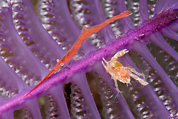 A Porcelain Crab, Porcellanella haigae, shares its Sea Pen perch with a Ocellated Tozeuma Shrimp, Tozeuma lanceolatum. Alor, Banda Sea, Indonesia, Pacific Ocean