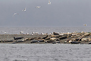 Harbor seals (Phoca vitulina) and glaucous gulls (Larus hyperboreus) share the beach of Protection Island National Wildlife Refuge near Port Townsend, Washington. Protection Island, located at the mouth of Discovery Bay in the Strait of Juan de Fuca, is a 364-acre island that serves as pupping grounds for hundreds of harbor seals as well as a summer home for 72 percent of the seabirds that nest in the Puget Sound area.