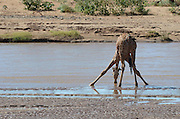 Kenya, Samburu National Reserve, Kenya, Reticulated Giraffe, Giraffa camelopardalis reticulata, drinking from a water pool