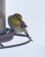 American Goldfinch (Spinus tristis). Image taken with a Leica SL2 camera and 90-280 mm lens.