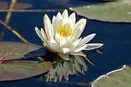 Nymphaeaceae (Waterlilies)