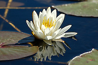 Waterlily photographed in St. Marks National Wildlife Refuge. There were literally hundreds of them.