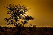 Apple-ring Acacia (Faidherbia albida (syn. Acacia albida Delile)) in a desert oasis at sunset Photographed in Israel, Negev Desert