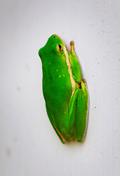 28 August 2014. Braithwaite, Louisiana. <br /> A tree frog rests in the shade.<br /> Photo; Charlie Varley