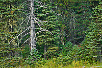snag in a coniferous forest at Chain of Lakes Gifford Pinchot NF with lichens hanging from branches in the Gifford Pinchot National Forest, Cascade Mountain Range, Washington, USA