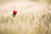 A lone bud of a red Anemone coronaria (Poppy Anemone) in a field. This wildflower can appear in several colours. Mainly red, purple, blue and white. Photographed in Israel in March