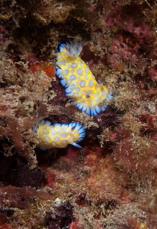 Kermadecs Marine Reserve, Chromodoris roboi, Tooth-edged chromodoris