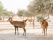 Deers roam freely at the Sir Bani Yas, the largest natural island in the United Arab Emirates. Thanks to decades of conservation work and ecological investment, the island is now home to thousands of large free-roaming animals and several million trees and plants. A bird sanctuary as well as a wildlife reserve, Sir Bani Yas showcases nature through activities such as adventure safaris, kayaking, mountain biking, archery, hiking and snorkeling.