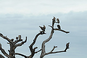 Africa, Tanzania, Serengeti National Park Lappet-faced Vultures or Nubian Vultures (Torgos tracheliotus) on a dead tree