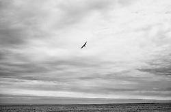 Great skua flying in open area in Oraefi, south east Iceland - Skúmur í Öræfum