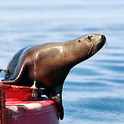 A juvenile Eastern Steller Sea Lion (Eumetopias jubatus ssp. monteriensis) perched on a buoy in Chatham Strait, near Juneau, Alaska. Note the external ear visible here, which is characteristic of sea lions. Seals, by contrast, do not have outer ears.
