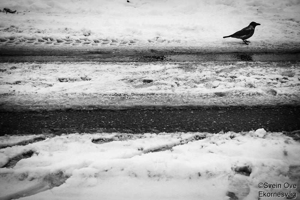 Crow in Snow.<br /> Foto: Svein Ove Ekornesvåg