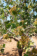 Fresh pistachio nuts growing on bushes.  Aegina, Greek Saronic Islands .<br /> <br /> If you prefer to buy from our ALAMY PHOTO LIBRARY  Collection visit : https://www.alamy.com/portfolio/paul-williams-funkystock/aegina-greece.html <br /> <br /> Visit our GREECE PHOTO COLLECTIONS for more photos to download or buy as wall art prints https://funkystock.photoshelter.com/gallery-collection/Pictures-Images-of-Greece-Photos-of-Greek-Historic-Landmark-Sites/C0000w6e8OkknEb8