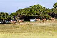 06-11-2017 Foto's genomen tijdens een persreis naar Buffalo City, een gemeente binnen de Zuid-Afrikaanse provincie Oost-Kaap. West Bank Golf Club - Impala's hole 12