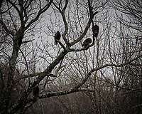 Turkey Vultures in a Tree. Image taken with a Fuji X-T3 camera and 200 mm f/2 OIS telephoto lens (ISO 250, 200 mm, f/2, 1/250 sec).